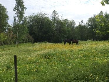 Hästar som kliar varandra